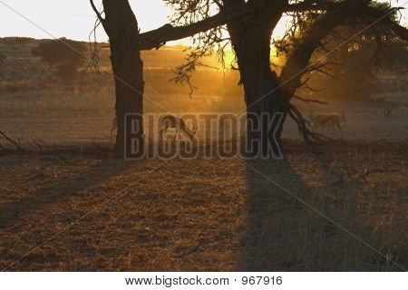 Springbok At Dawn