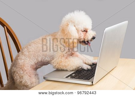 Smart poodle dog typing and reading laptop computer on table
