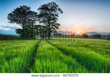 Sunrise Over Barley Fields
