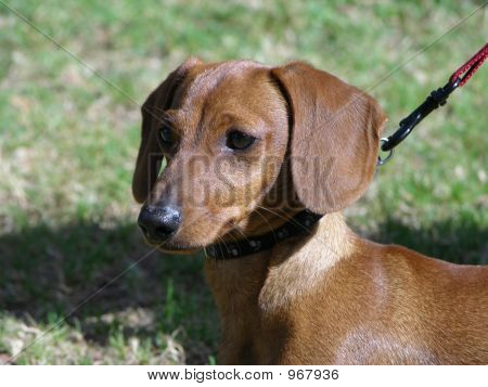 Dachshund Puppy On Leash