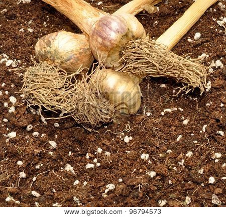 Garlic Bulbs And Soil