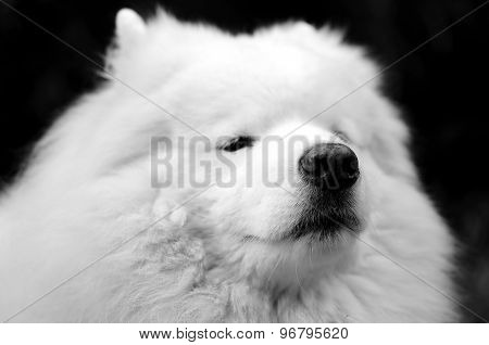 Focusing The Nose Of A Cute Samoyed Dog On Black Background