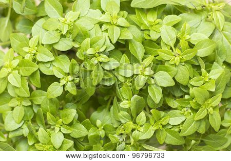 Closeup In A Branch Of Fresh Greek Basil