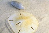 image of sanddollar  - close up of sanddollar and shell in the sand - JPG