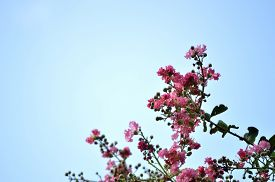 picture of crepes  - Pink colored crepe myrtle blooms in morning light - JPG