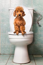 picture of pooping  - Concept of smart poodle dog pooping into toilet bowl - JPG