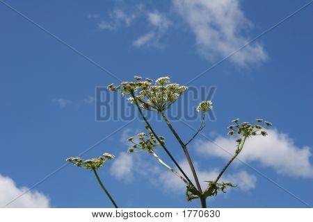 Hogweed Plant Against Blue Sky