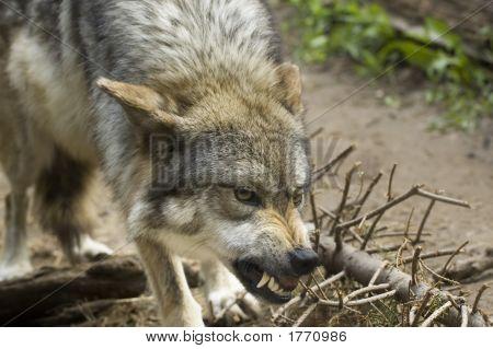 Mean Wolf