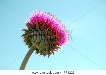 Thistle In The Sun