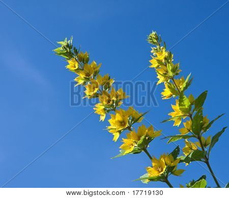 Flowering Loosestrife  Against The Sky