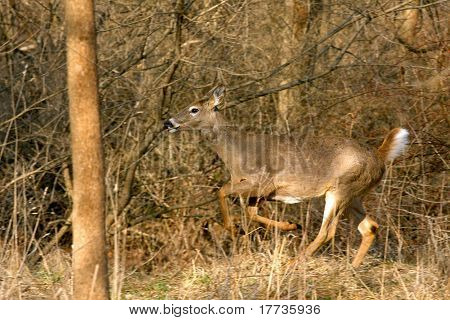 White-tailed Deer Odocoileus virginianus running through woods in morning sun
