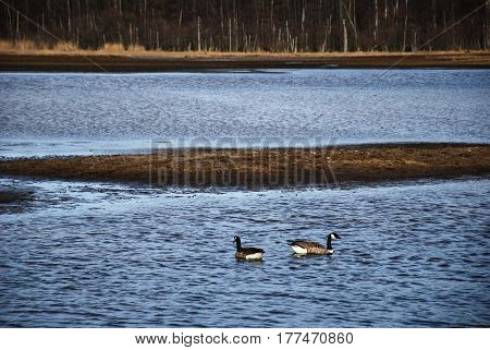 Two swimming canada geese in a wetalnd by springtime