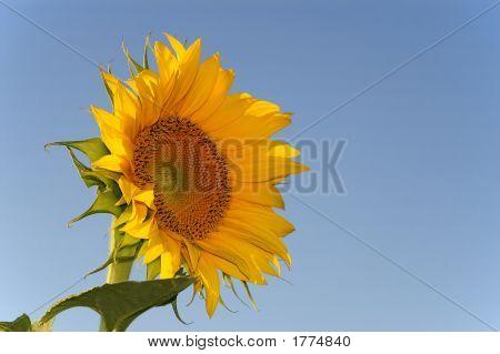 Flor de día del sol