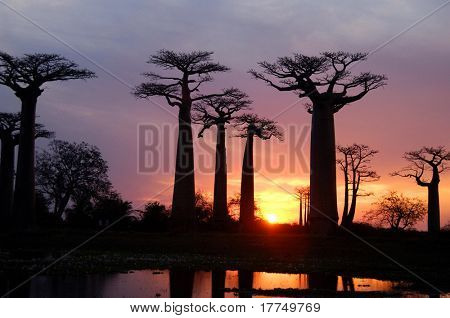 field of Baobab trees in Madagascar