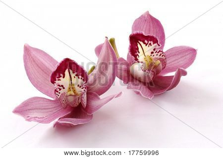 Beautiful couple pink orchid blossoms isolated on a white