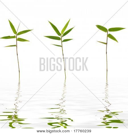 3 thin bamboo with reflection