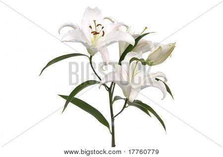 white lilies isolated on white