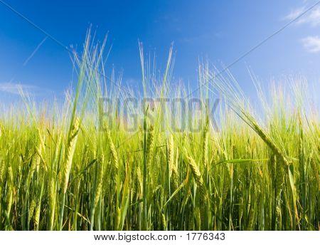 Bere Field