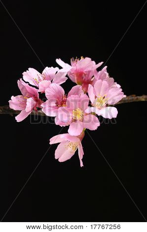 Branch Pink cherry blossom