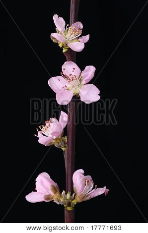 Blooming Cherry bud on black