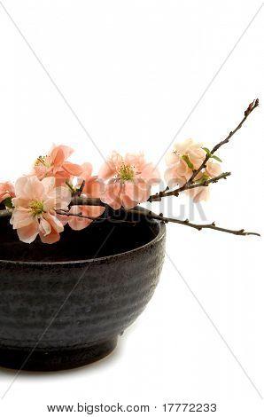 Spring flowering quince in vase