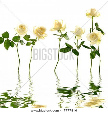 6 long stem white flower with reflection