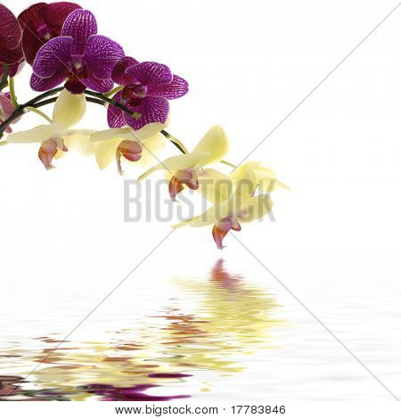 Reflection of branch of red and yellow violet orchids