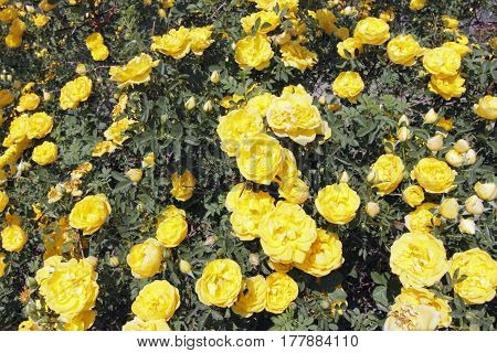 Close up of a large rosebush filled with many vibrant yellow flowers. Vibrant background of beautiful yellow rose flowers growing outside on a sunny day in Colorado.