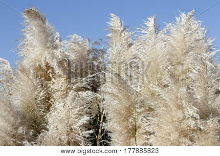 Tall Pampas Grass beige foliage plumes on a sunny blue sky day. Background of fluffy and beautiful beige pampas grass plants growing under a bright blue sky day.