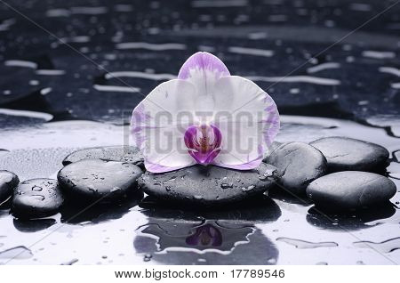 still life with pebble and macro of orchid with water drops