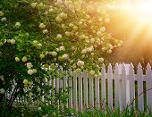 Snowball bush by a white picket fence. poster