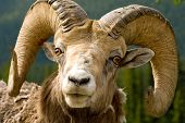 pic of the lost sheep  - Those horns look like he - JPG