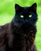 pic of black cat  - black cat whose eyes match the background - JPG