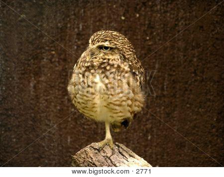 Resting Owl poster
