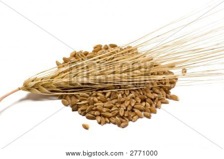 Barley Grain And Ear
