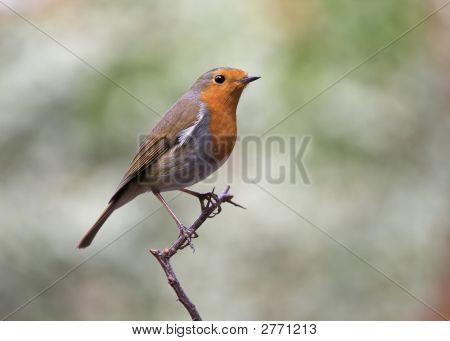 Bird - European Robin