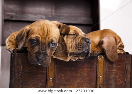 Puppies amstaff,dachshund