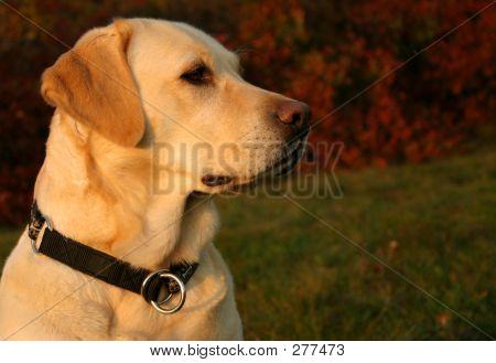 Autumn Labrador Portrait