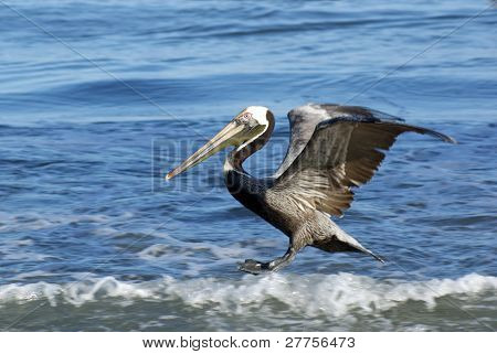 Surfing Brown Pelican