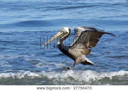 Surfing Brown Pelican