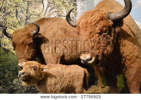 Stuffed aurochs