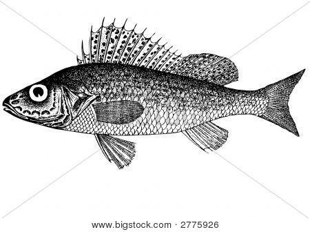 Fish Ruff (Acerina Cernua (Latin))