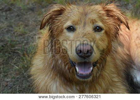 poster of Pink Nosed Toller Dog With Damp Fur Resting In Grass.