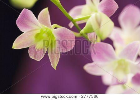 Hermosas orquídeas moradas