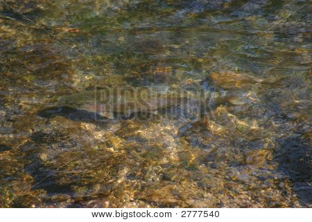 Stock - Breeding Rainbow Trout