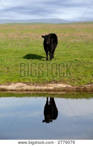 Range Cow Reflection
