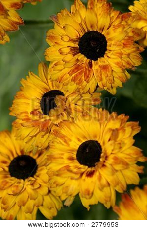 Brown Eyed Flowers