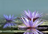 stock photo of water lily  - Flowers of water lilies on the surface of the water - JPG