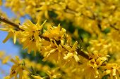 Green-stem Forsythia - Latin Name - Forsythia Viridissima poster