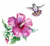 Watercolor Painting.  Hand Drawn Flying Humming Bird And Pink Flower Isolated On White. Small Hummin poster